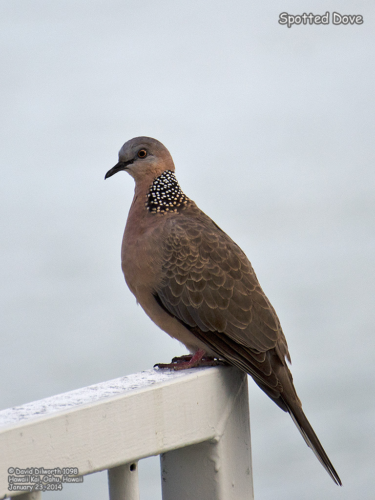 1098 Spotted Dove