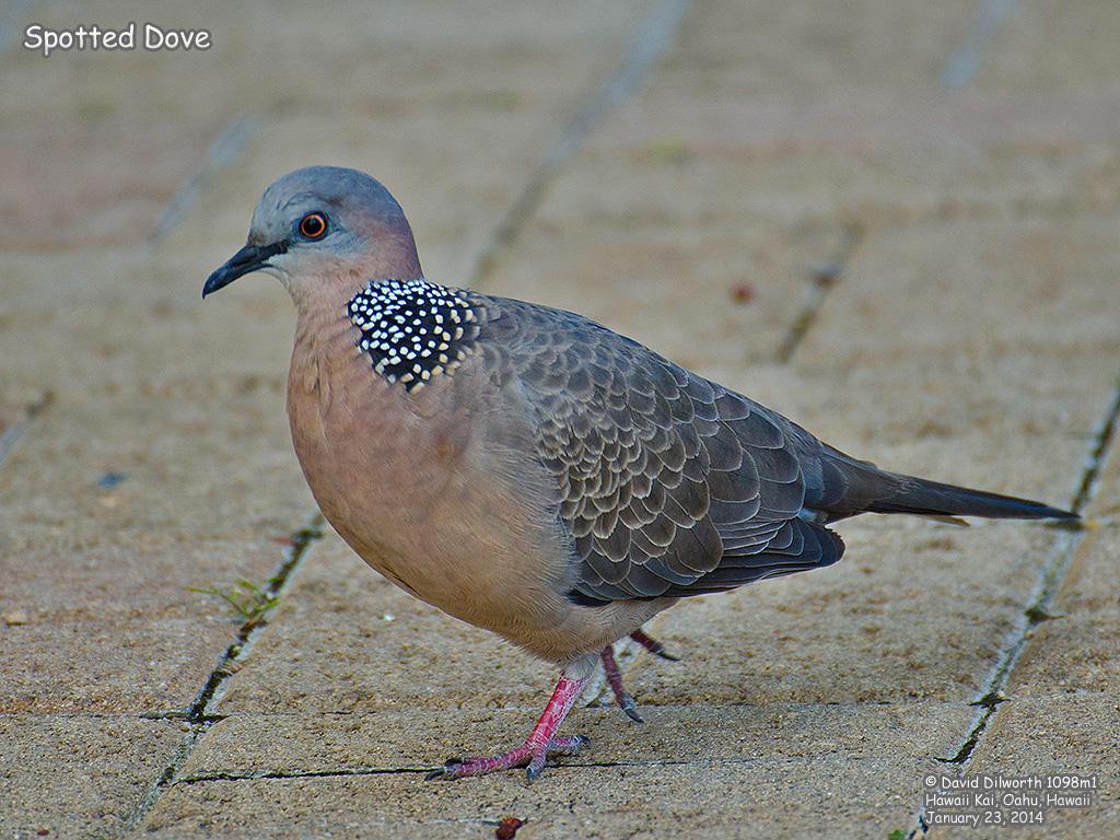 1098m1 Spotted Dove