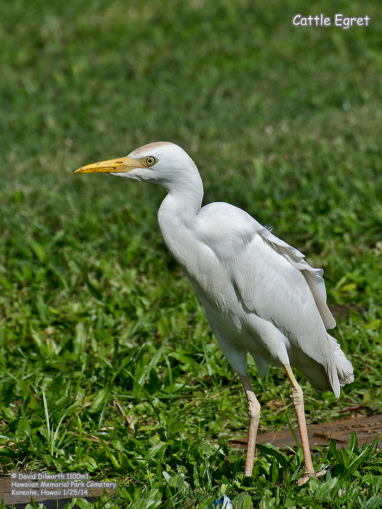 1100m1 Cattle Egret