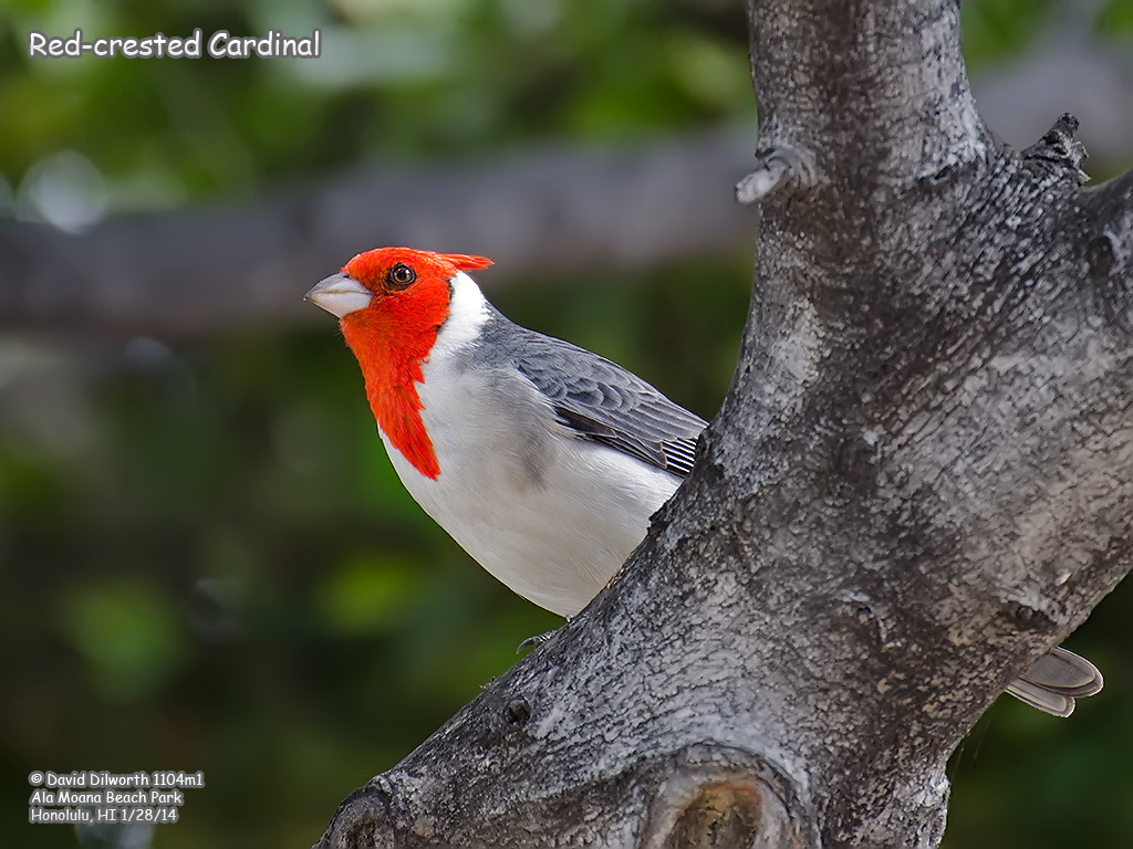 1104m1 Red-crested Cardinal