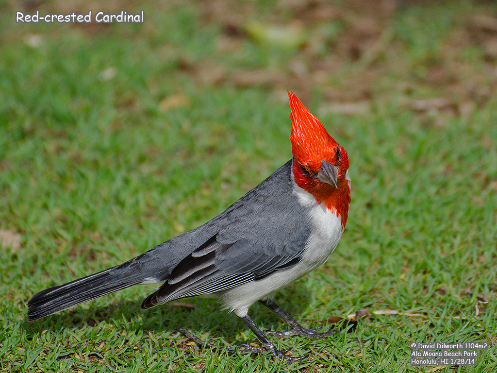 1104m2 Red-crested Cardinal