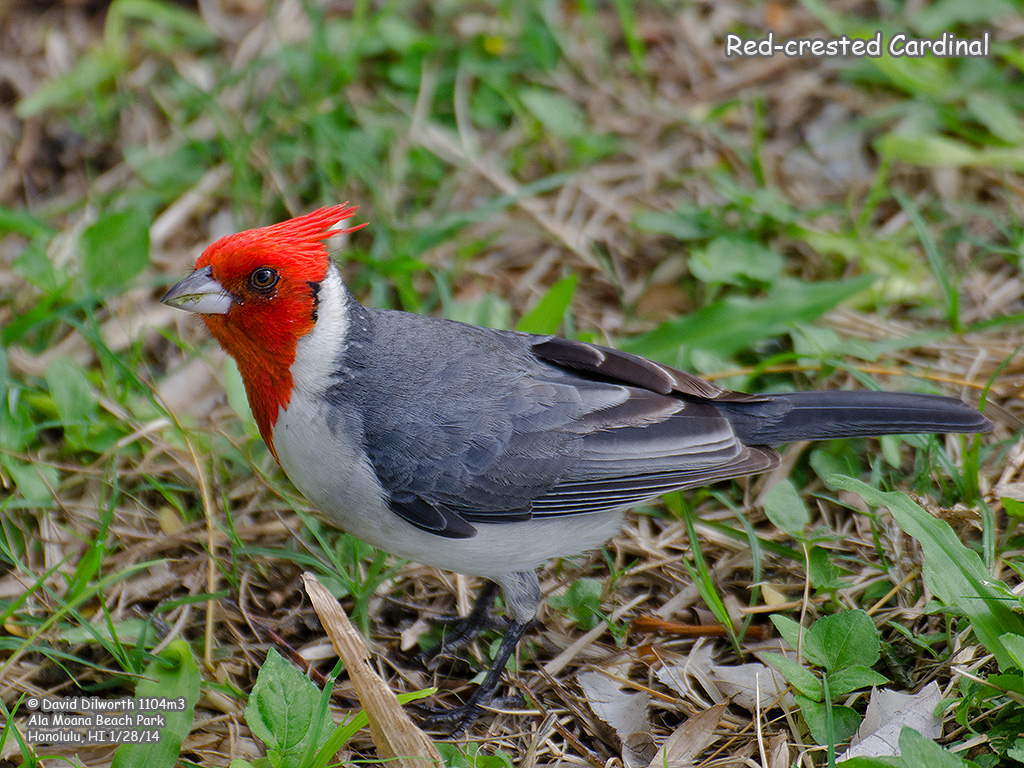 1104m3 Red-crested Cardinal