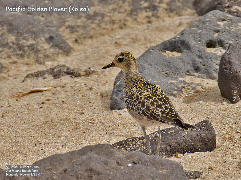 1106 Pacific Golden Plover (Kolea)