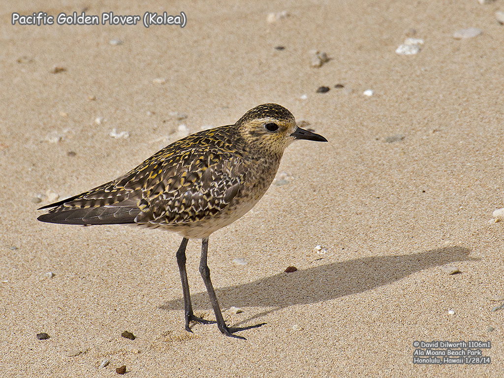 1106m1 Pacific Golden Plover (Kolea)