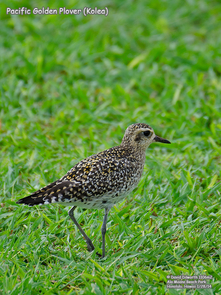 1106m2 Pacific Golden Plover (Kolea)