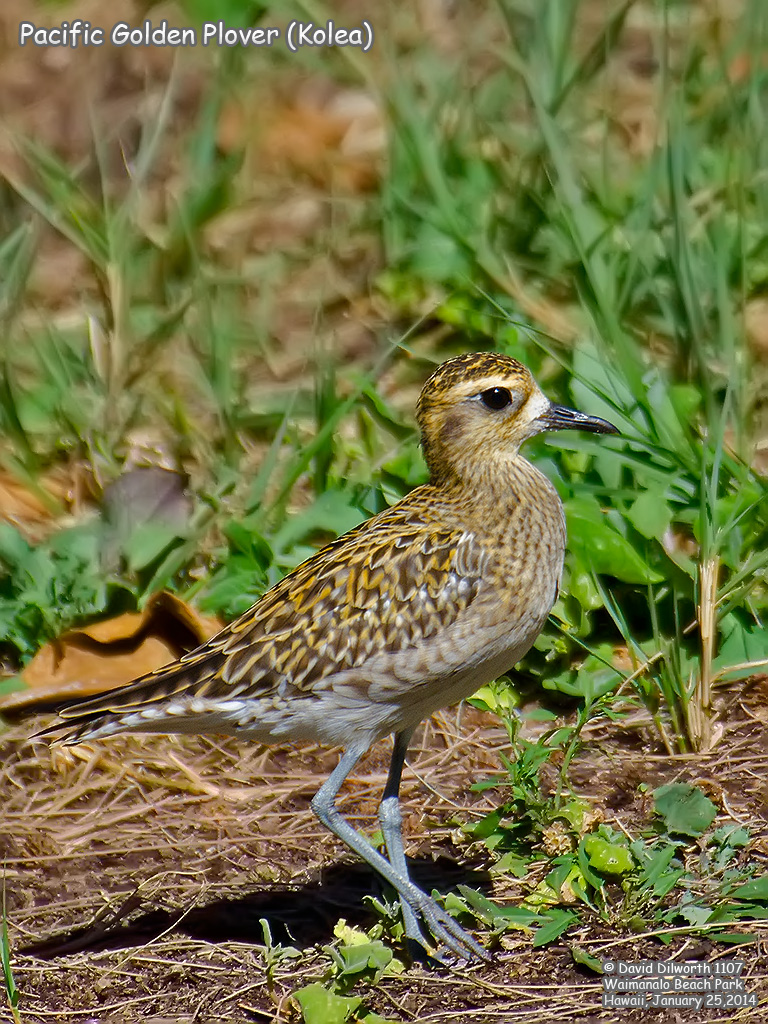 1107 Pacific Golden Plover (Kolea)