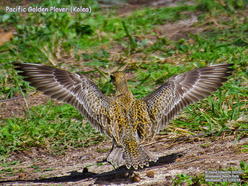 1107m1 Pacific Golden Plover (Kolea)