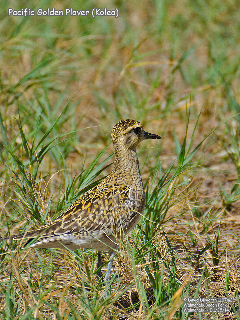 1107m2 Pacific Golden Plover (Kolea)