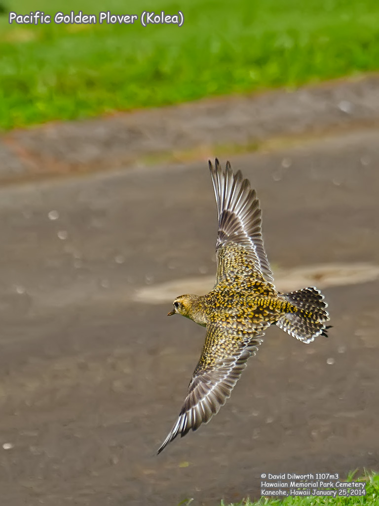 1107m3 Pacific Golden Plover (Kolea)