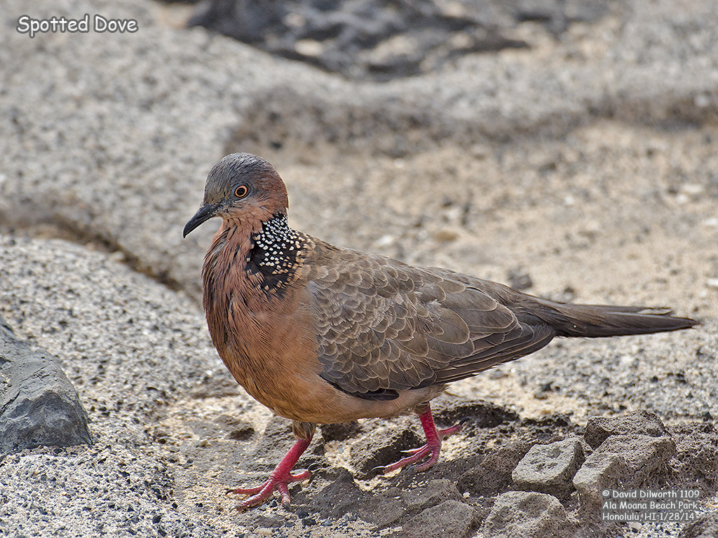 1109 Spotted Dove