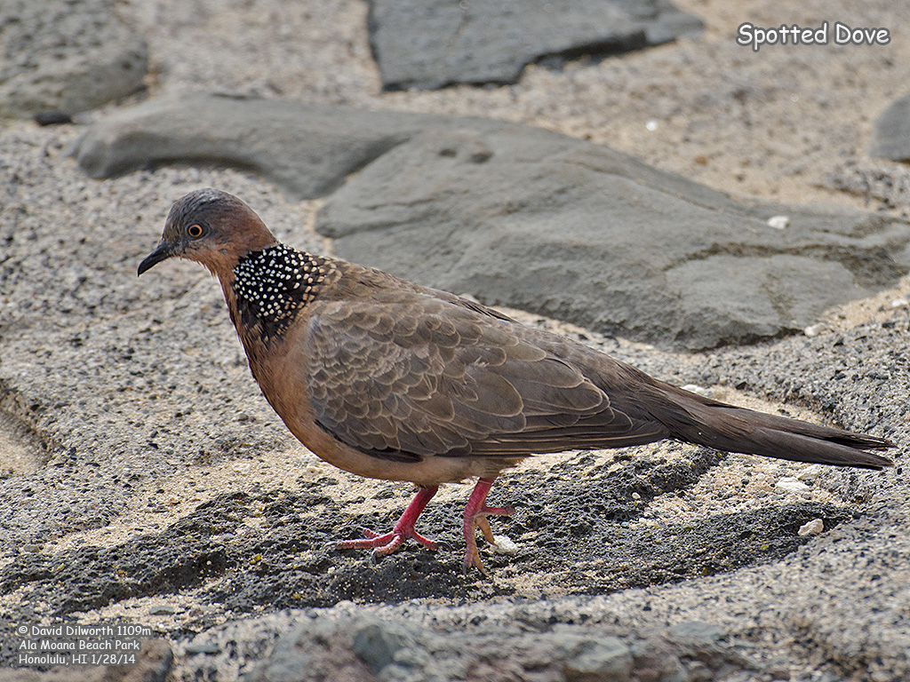1109m Spotted Dove