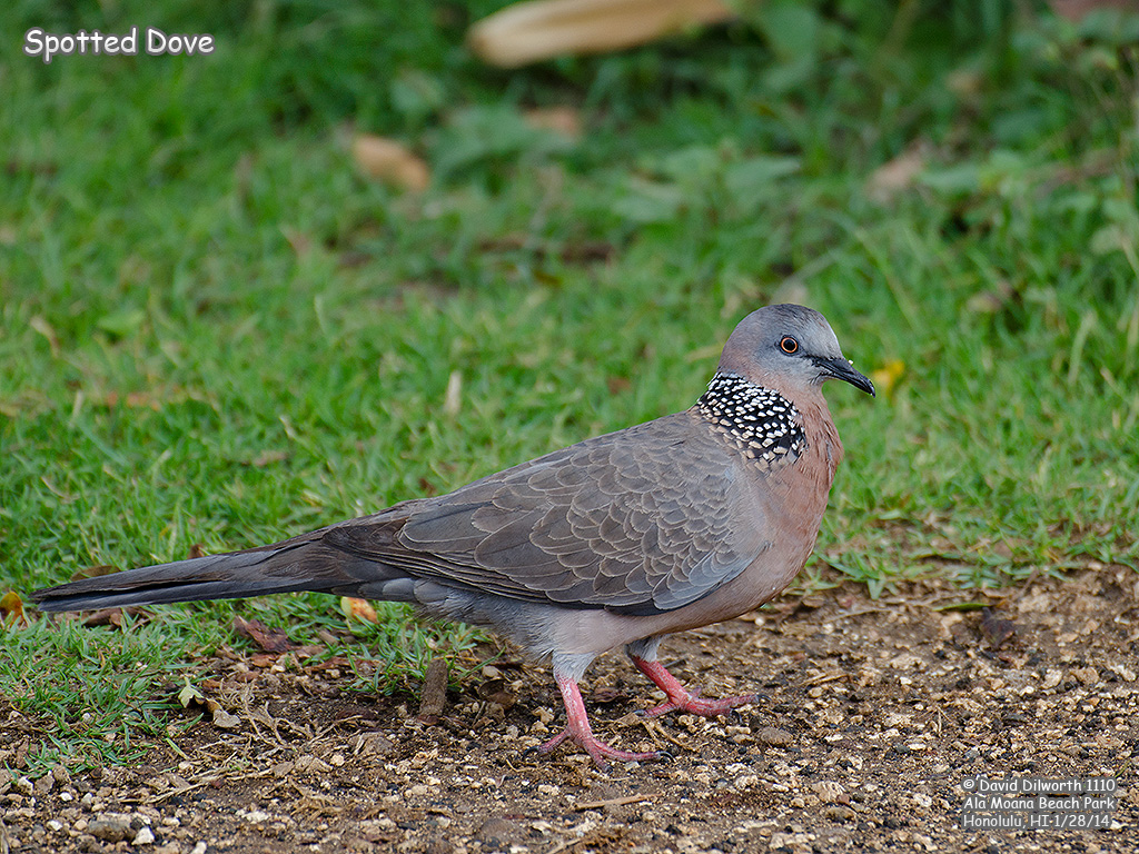 1110 Spotted Dove