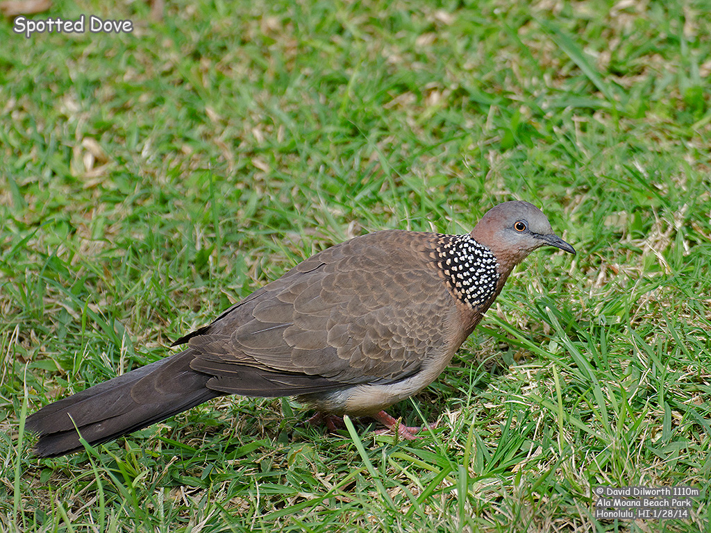 1110m Spotted Dove