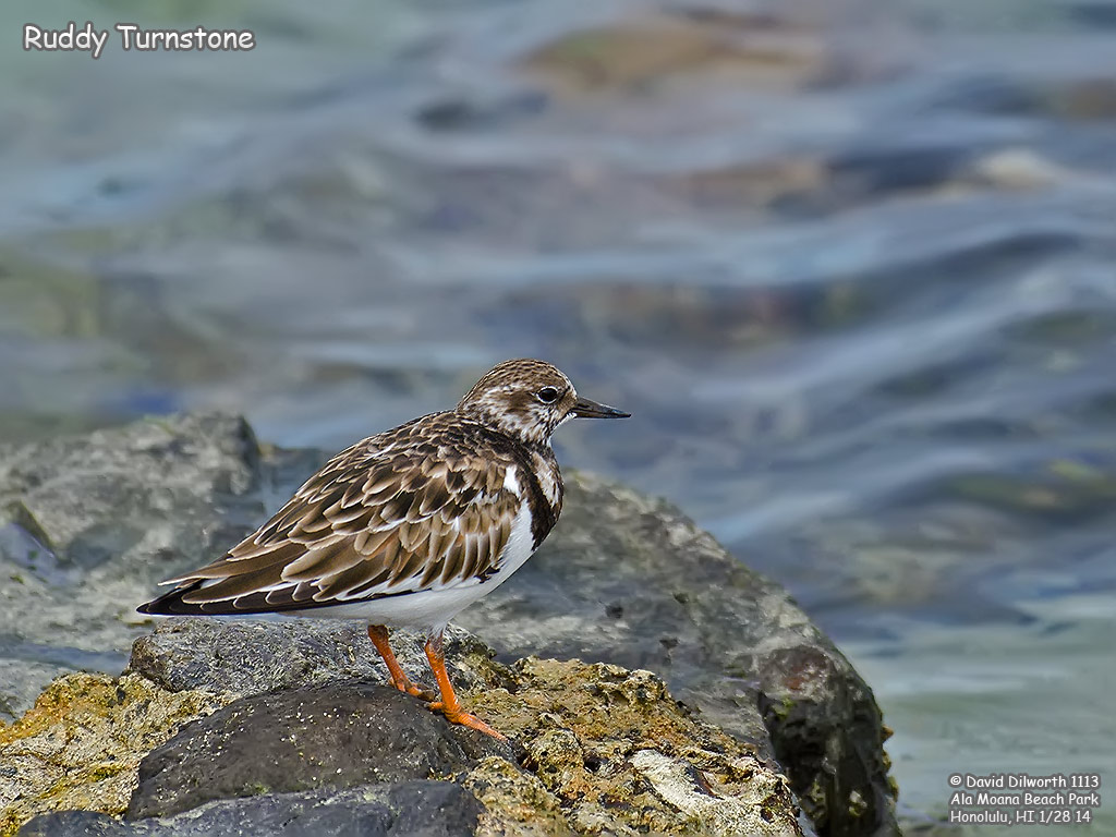 1113 Ruddy Turnstone