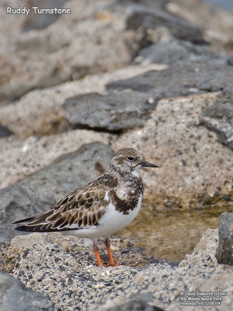 1113m1 Ruddy Turnstone