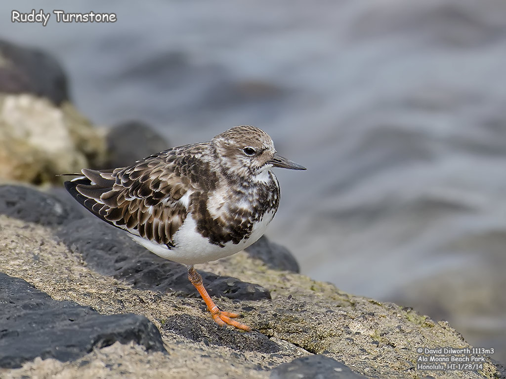 1113m3 Ruddy Turnstone