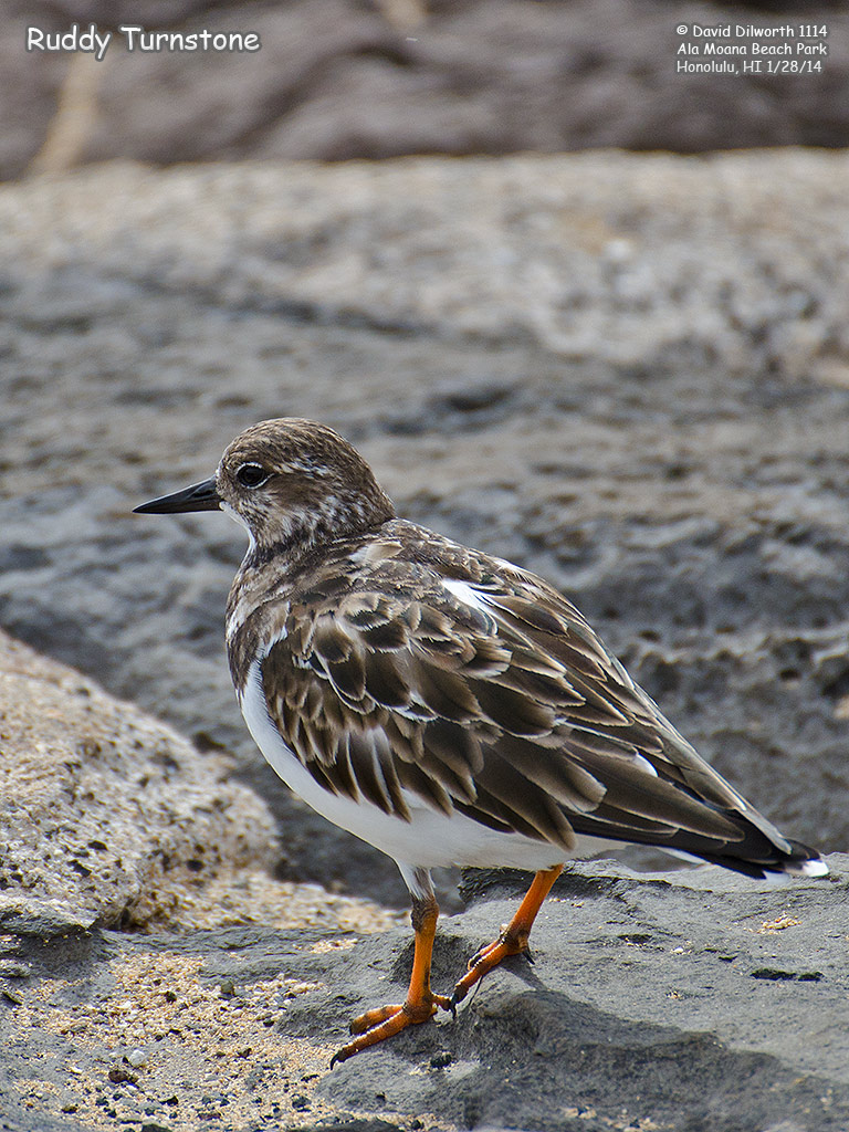 1114 Ruddy Turnstone