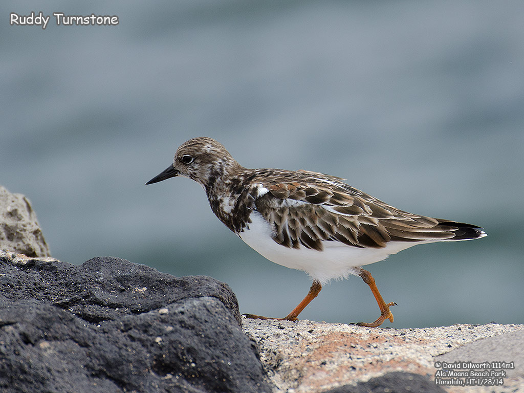 1114m1 Ruddy Turnstone