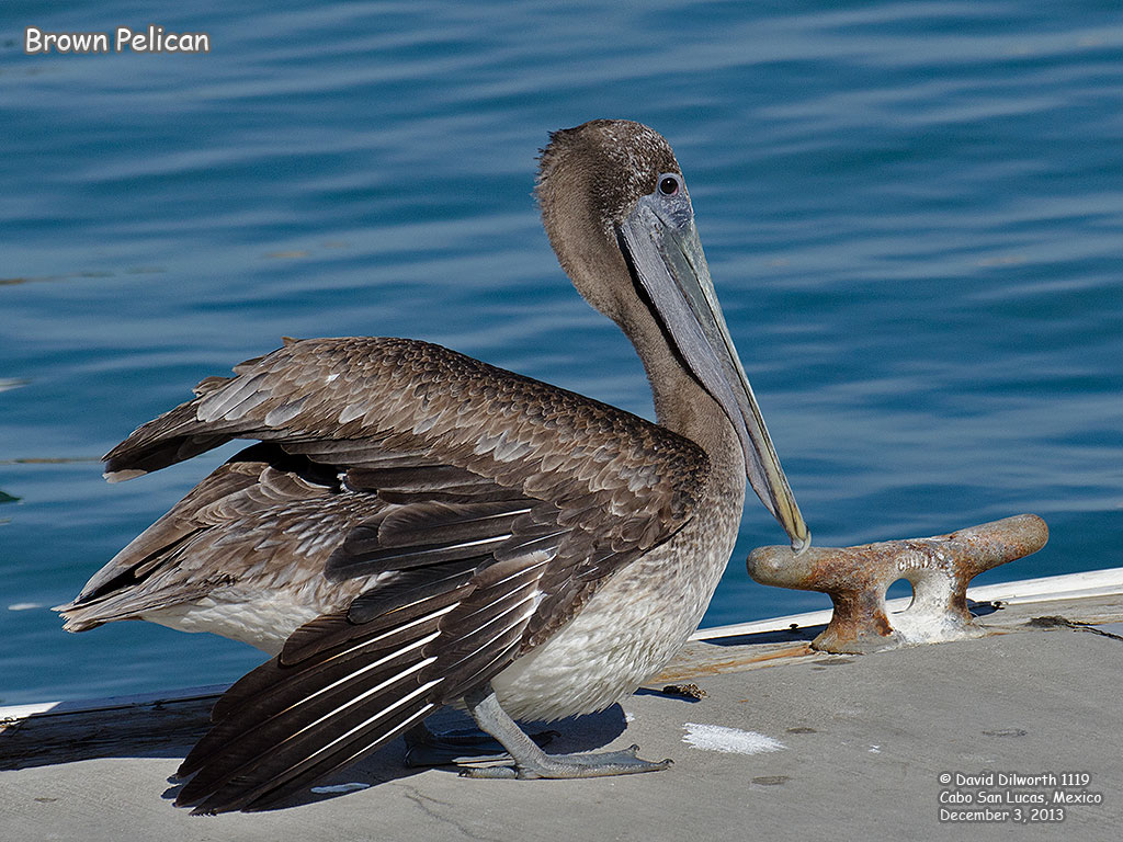1118 Brown Pelican