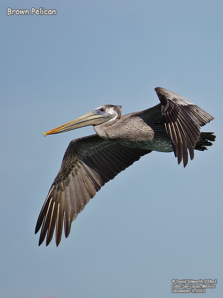1118m1 Brown Pelican