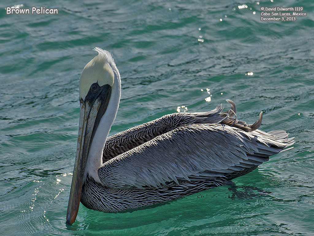 1119 Brown Pelican