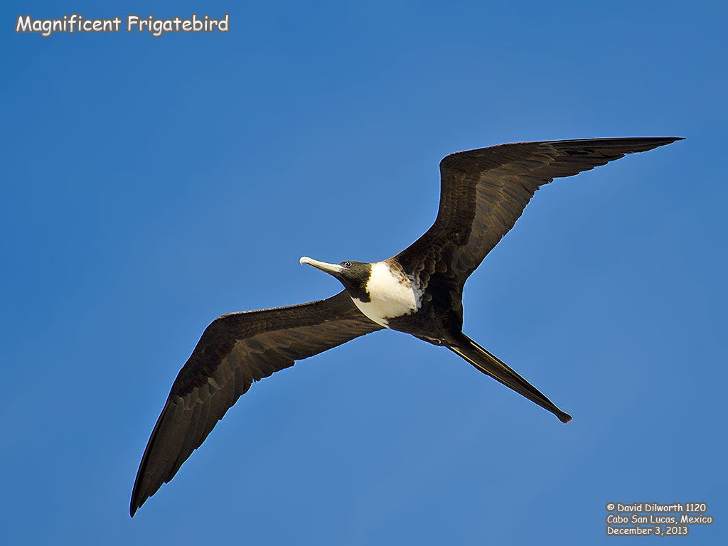 1120 Magnificent Frigatebird