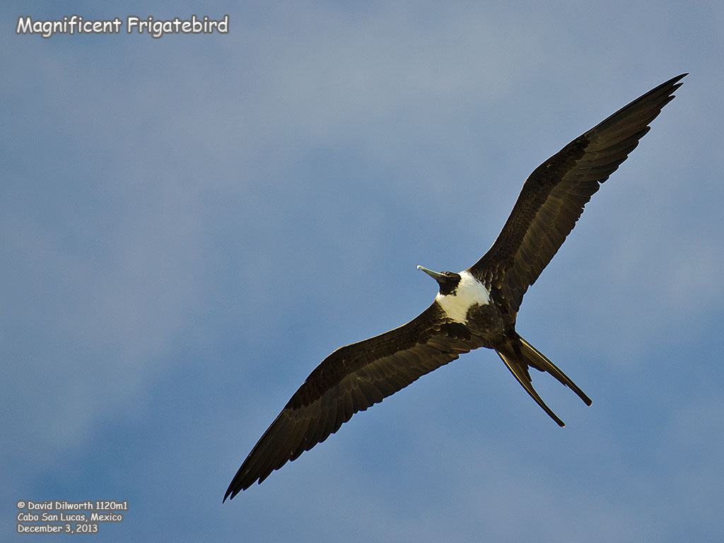 1120m1 Magnificent Frigatebird