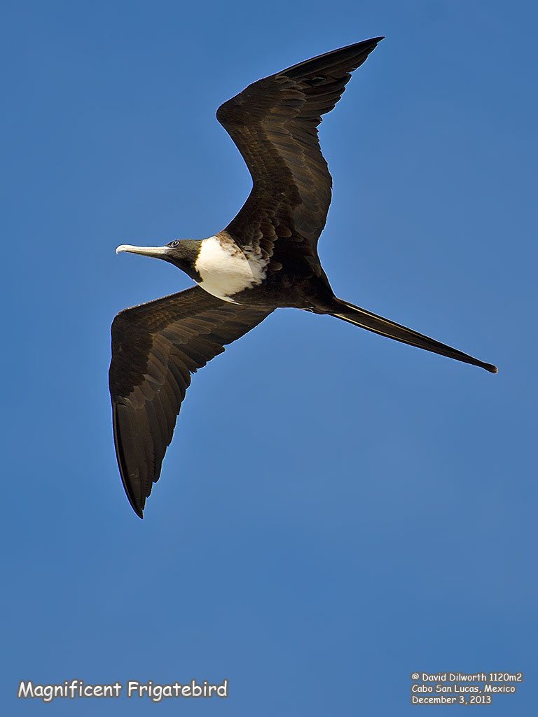 1120m2 Magnificent Frigatebird