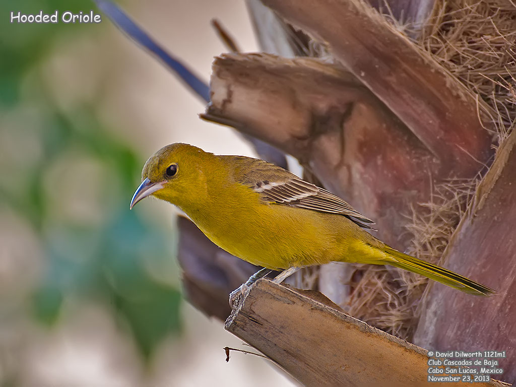 1121m1 Hooded Oriole