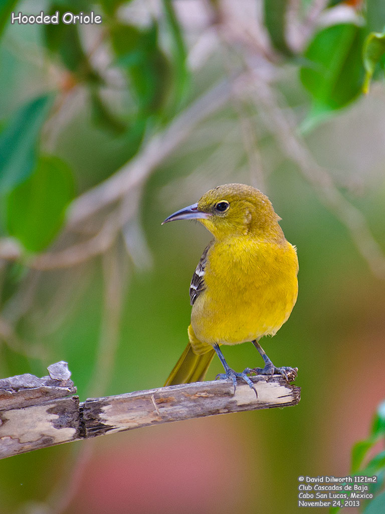 1121m2 Hooded Oriole