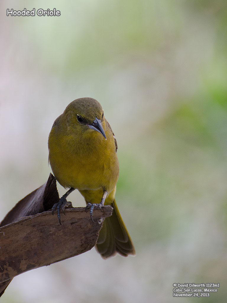 1123m1 Hooded Oriole