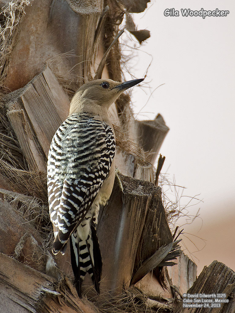 1124 Gila Woodpecker