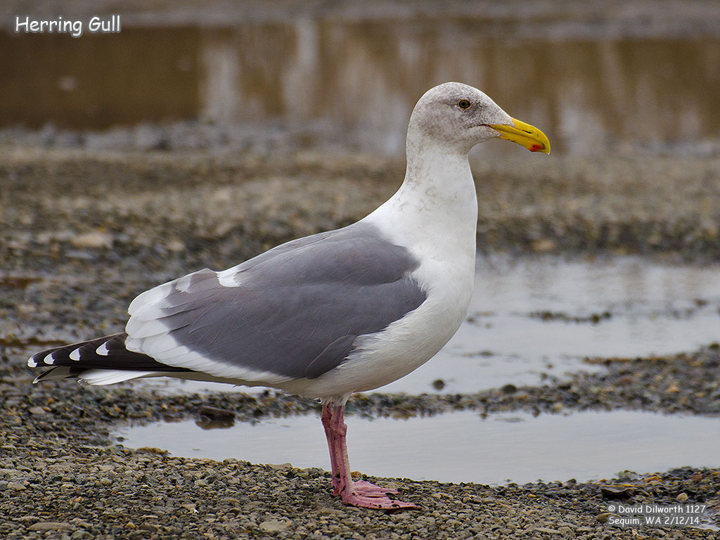 1127 Herring Gull