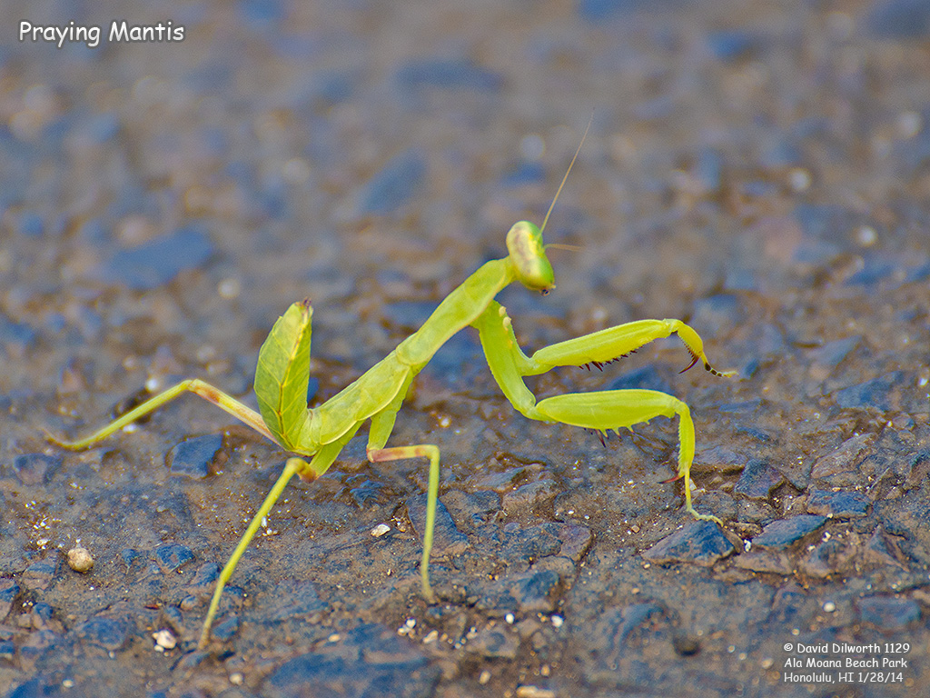 1129 Praying Mantis