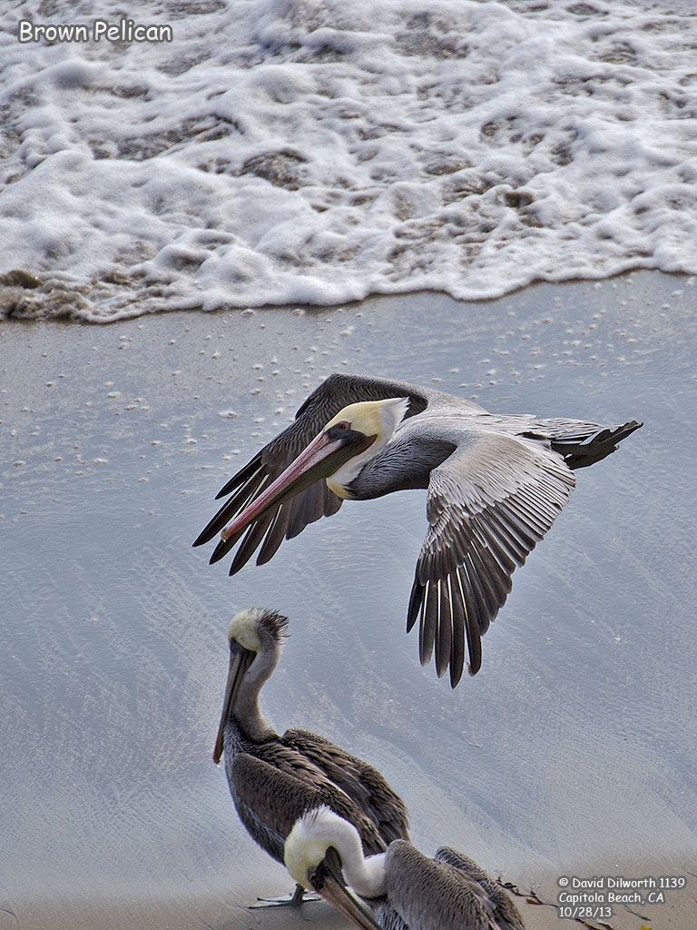 1139 Brown Pelican