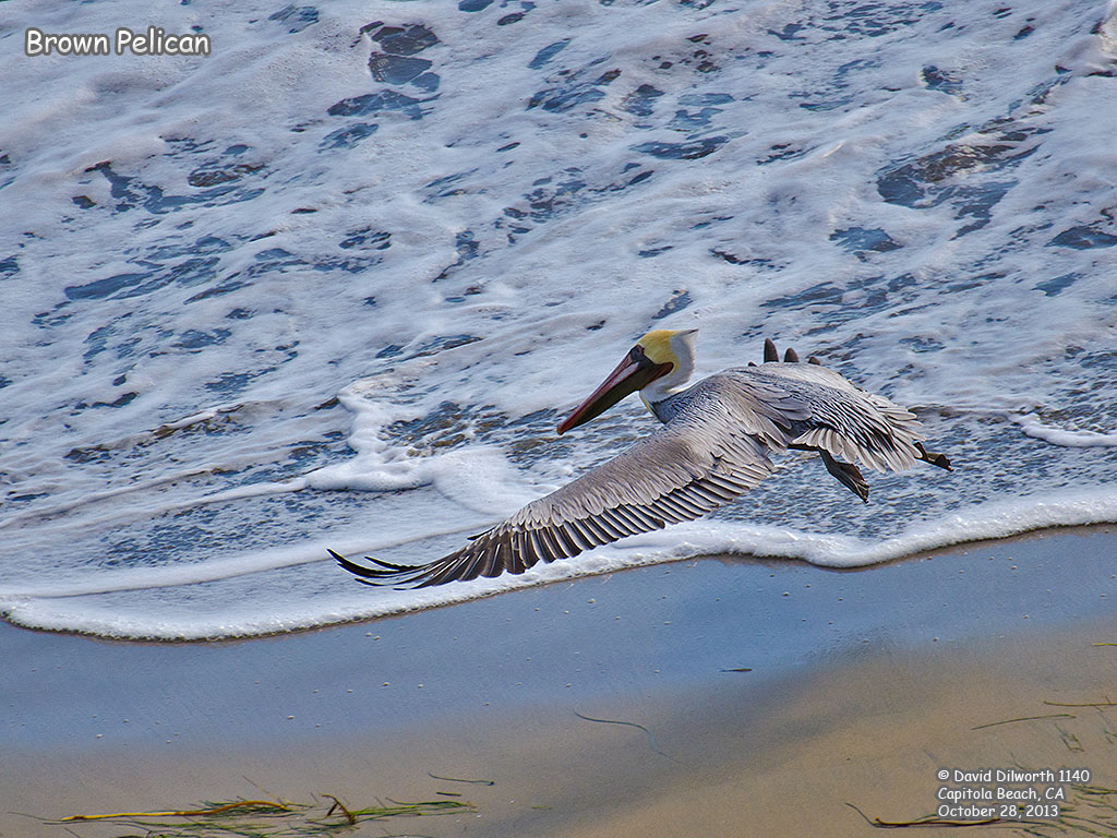 1140 Brown Pelican
