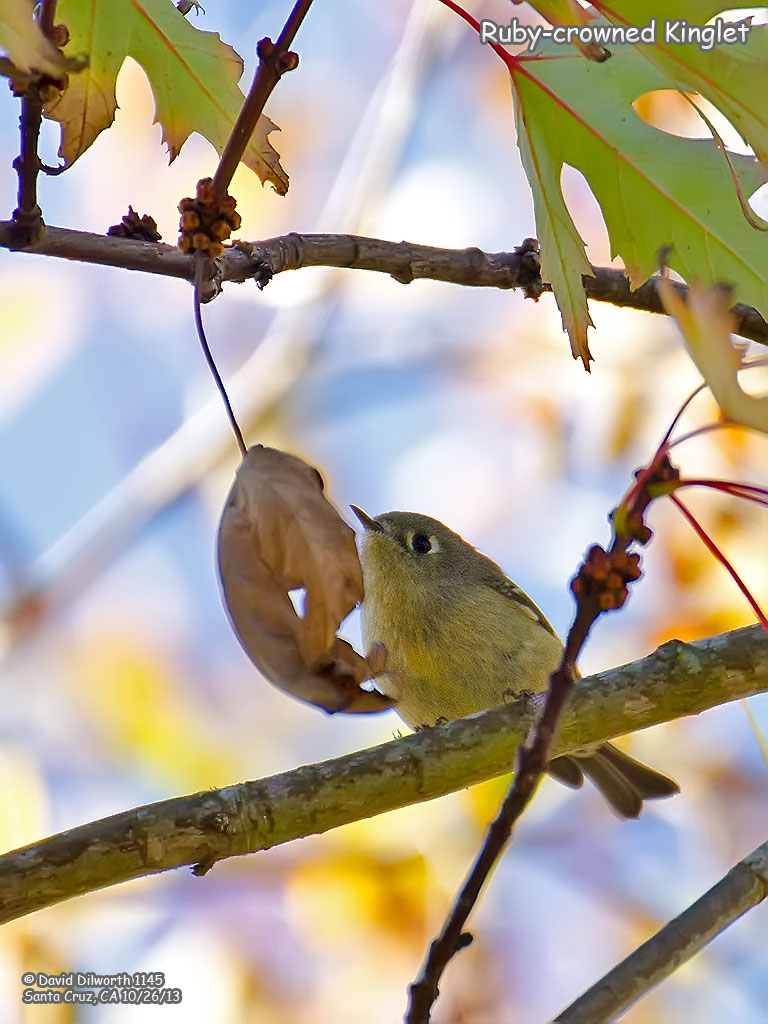 1145 Ruby-crowned Kinglet