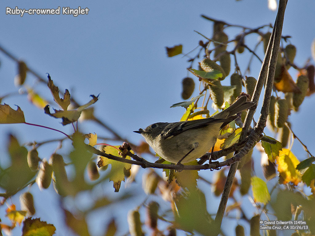 1145m Ruby-crowned Kinglet