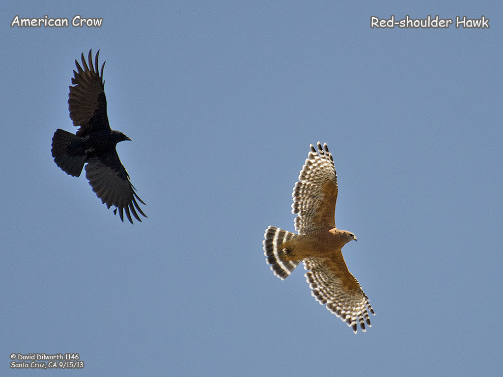 1146 Red-shouldered Hawk & American Crow