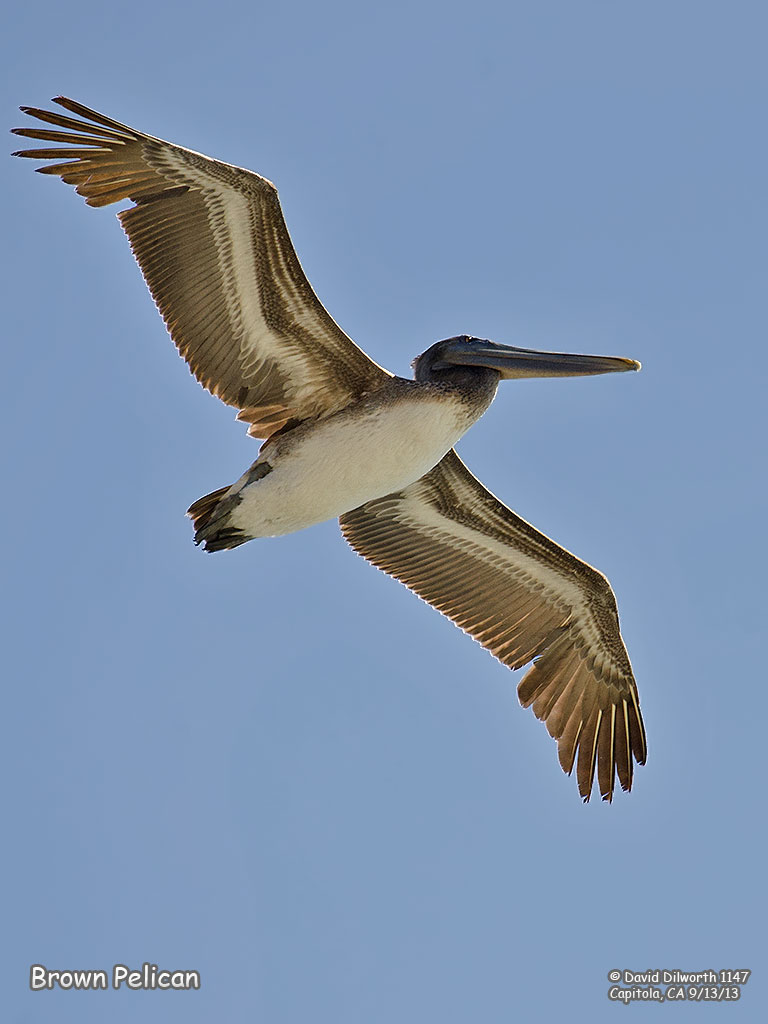 1147 Brown Pelican