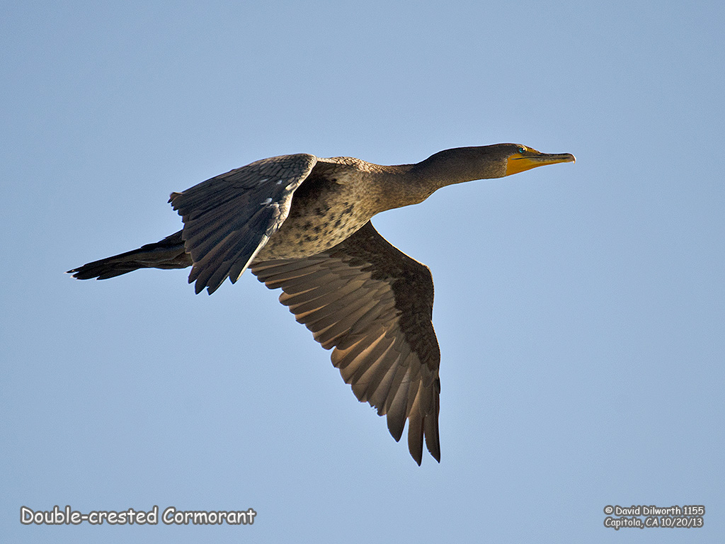 1155 Double-crested Cormorant