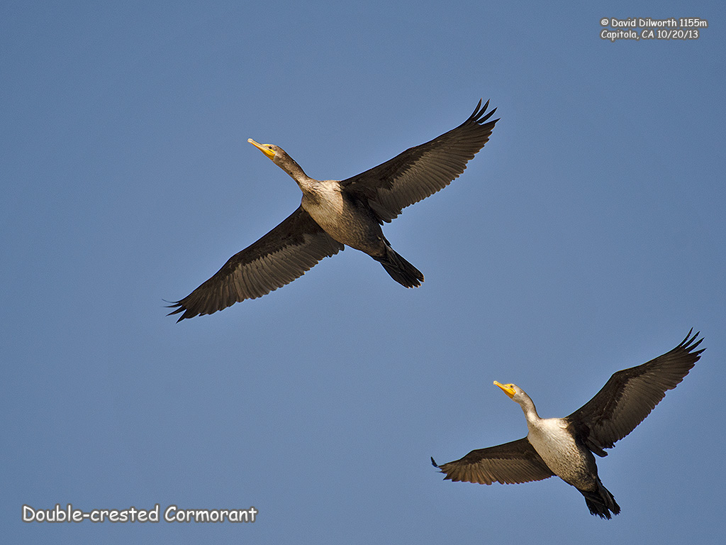1155m Double-crested Cormorant