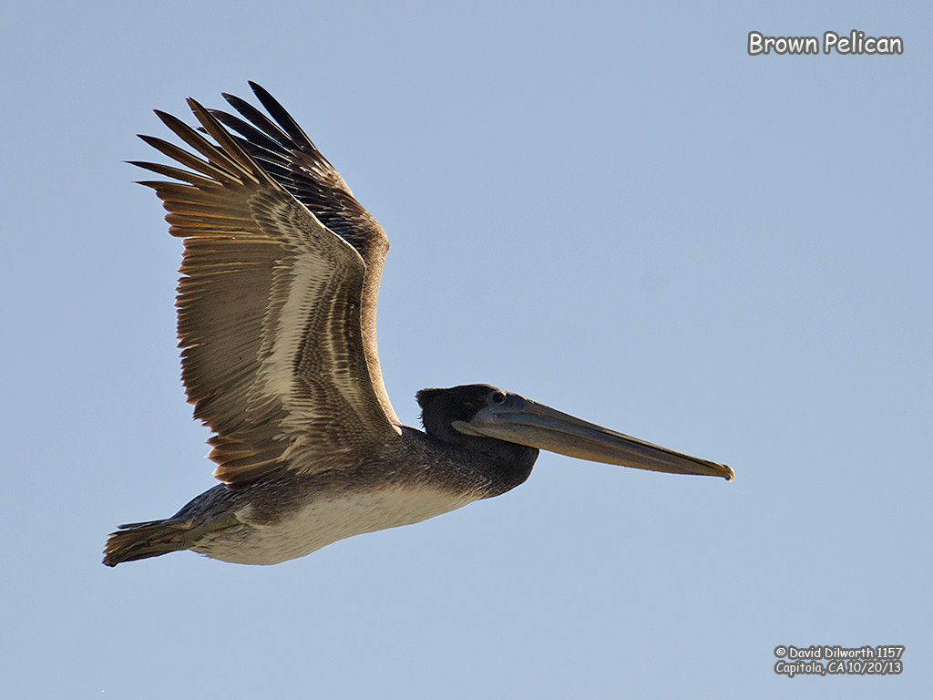 1157 Brown Pelican