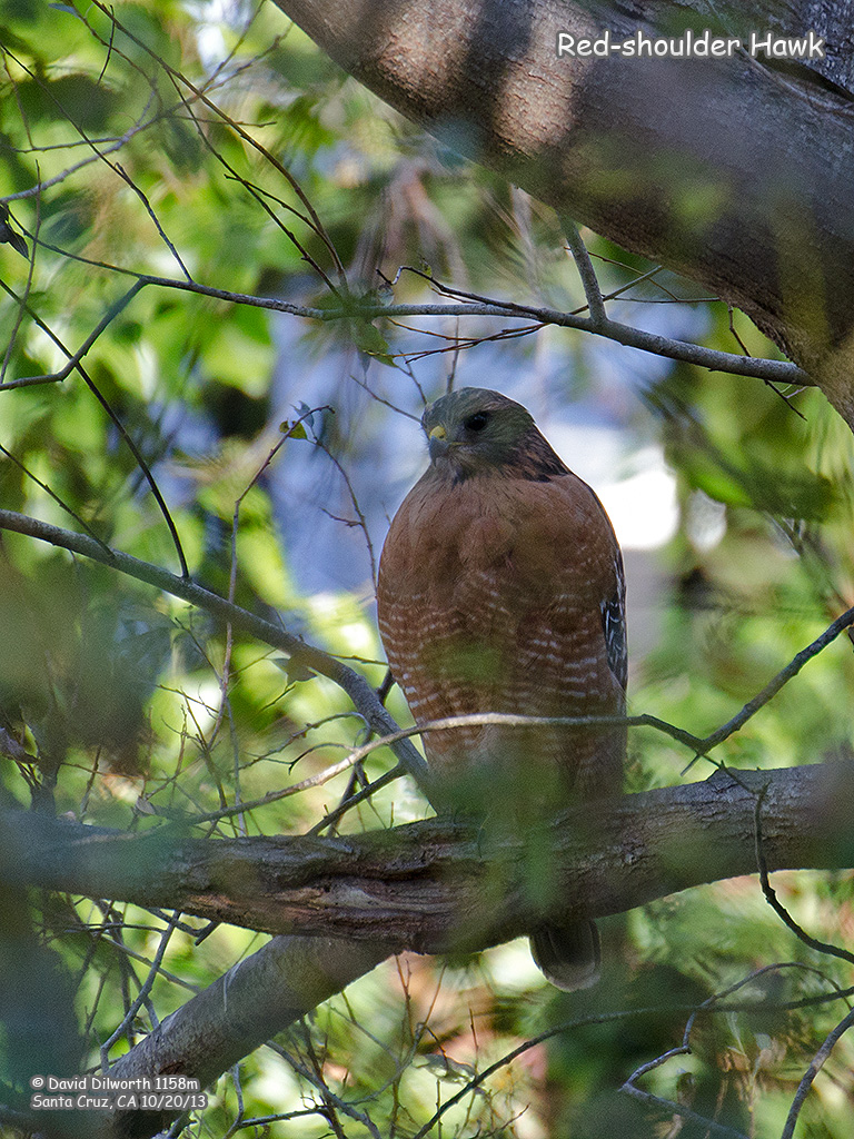 1158m Red-shouldered Hawk