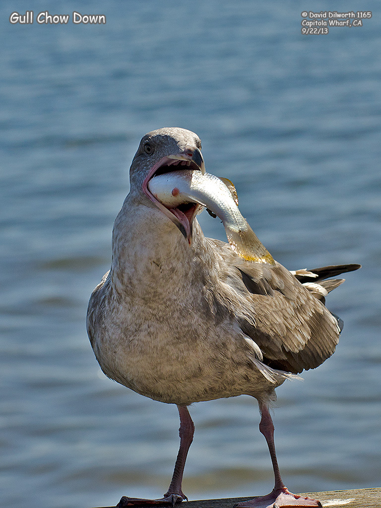 1165 Gull Chow Down