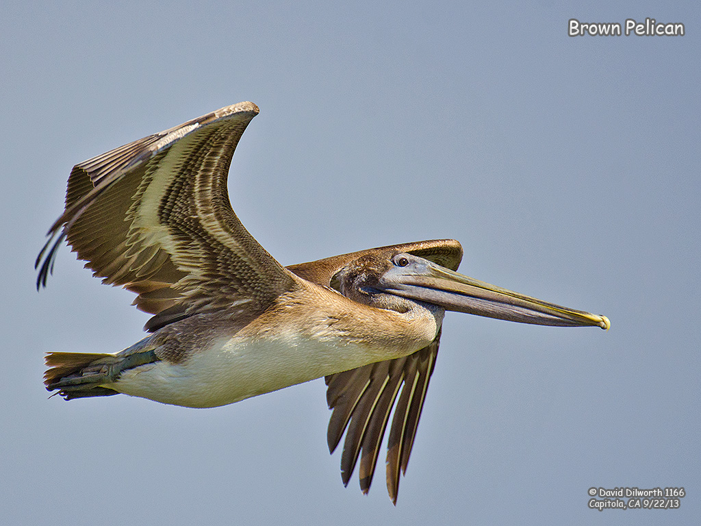 1166 Brown Pelican