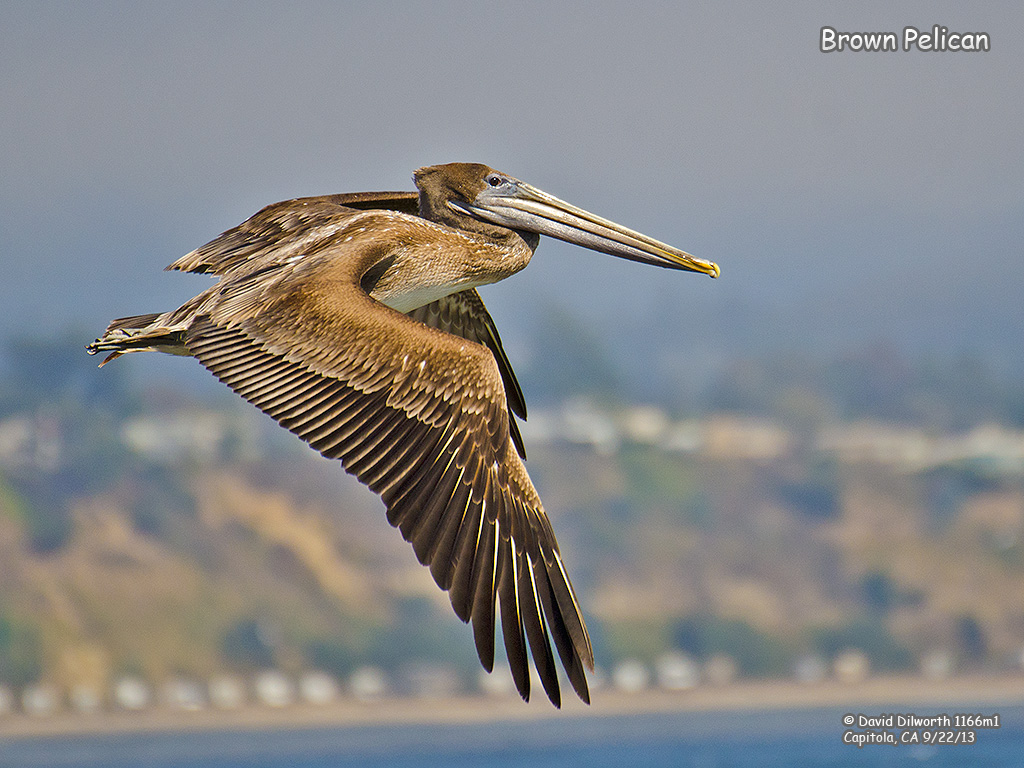 1166m1 Brown Pelican