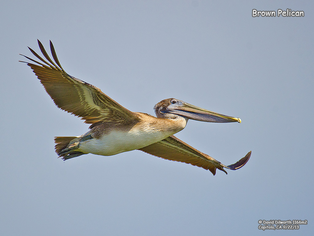 1166m2 Brown Pelican