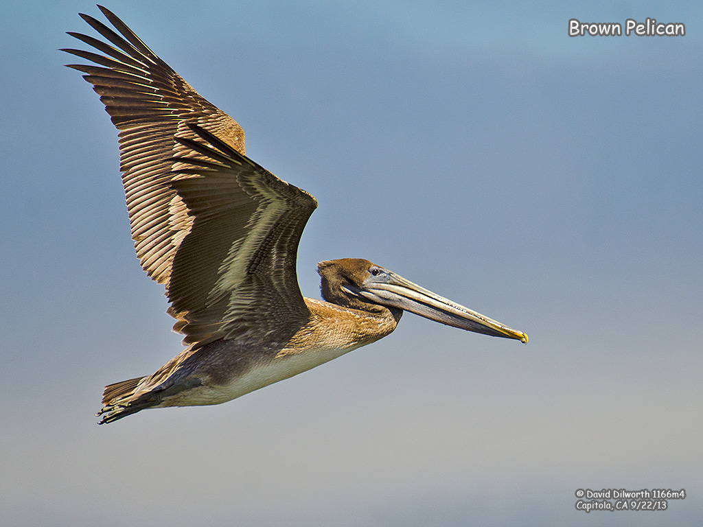 1166m4 Brown Pelican