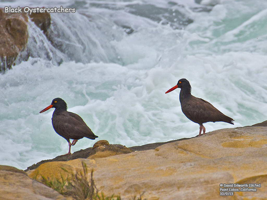 1167m1 Black Oystercatcher